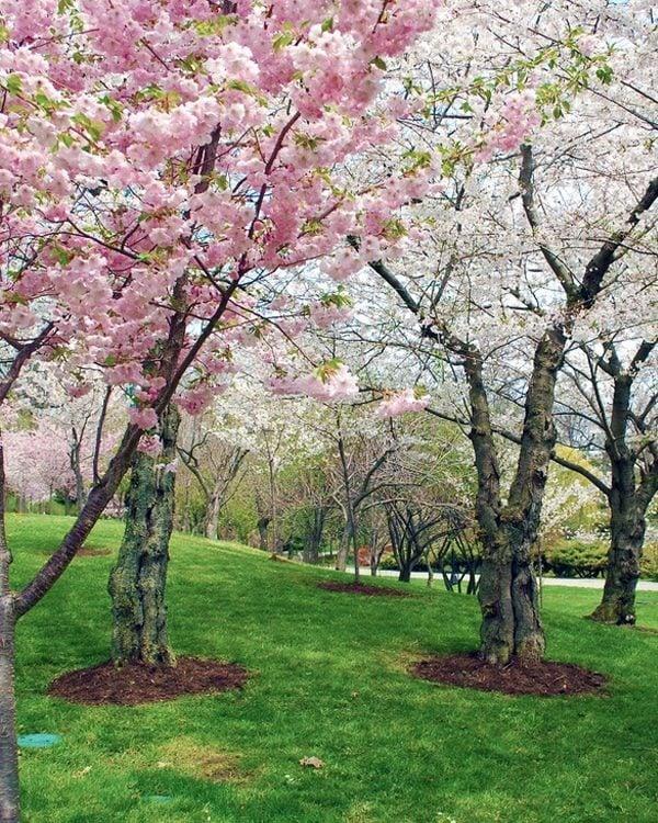 Buffalo Cherry Blossom Festival