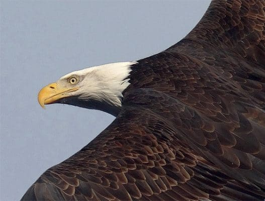 A close-up of on of the many Bald Eagles on the Hudson taking flight. | Photo by Scott Rando