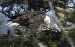 One of many Bald Eagles on the Hudson perched on its nest. | Photo by Scott Rando