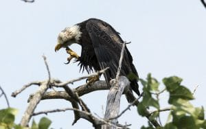 One of many Bald Eagles on the Hudson, perched atop a tree branch. | Photo by Kathryn Zvokel Stewart