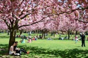 The Cherry Blossoms at Brooklyn Botanic Garden.