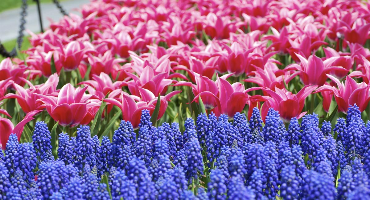 A Colorful Array of Flowers at the Albany Tulip Festival | Photo from Wikimedia Commons