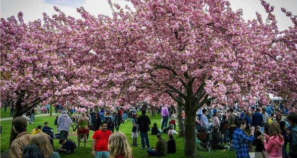 Sakura Matsui: Cherry Blossom Festival | Photo Courtesy of Vish Pool