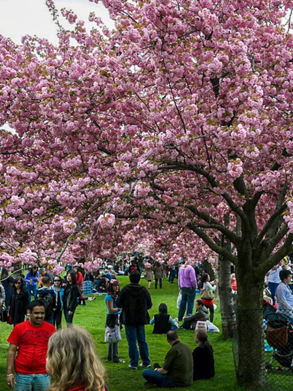 Sakura Matsui: Cherry Blossom Festival | Photo Courtesy of Vish Pool