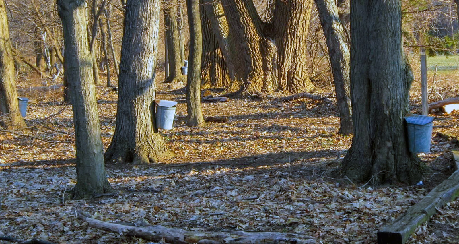 New York Maple Weekend | Helmer Nature Center