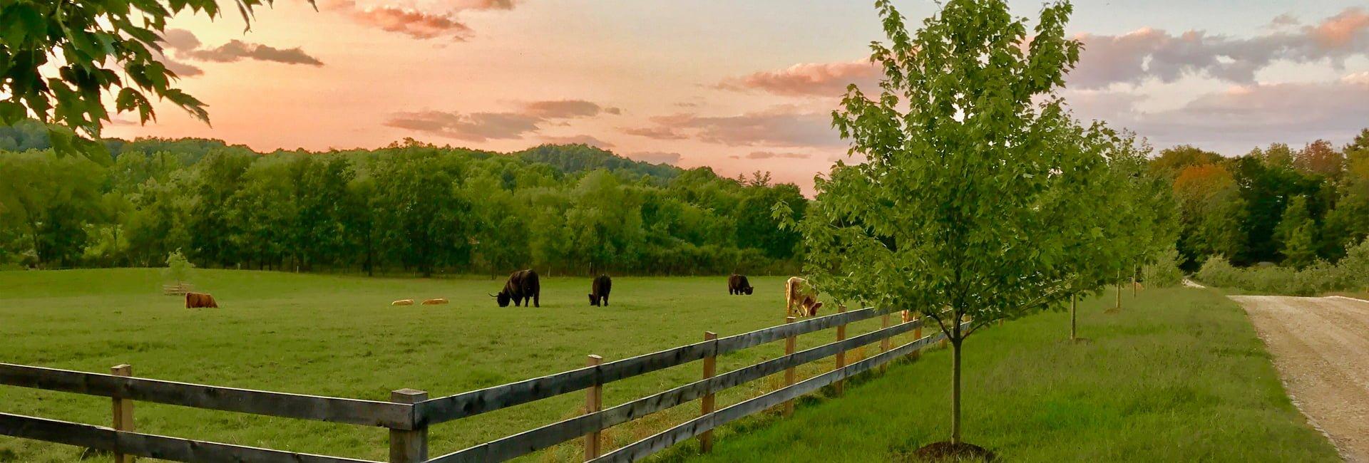June Farms, Scottish Highland Cattle grazing_Capital-Saratoga Region