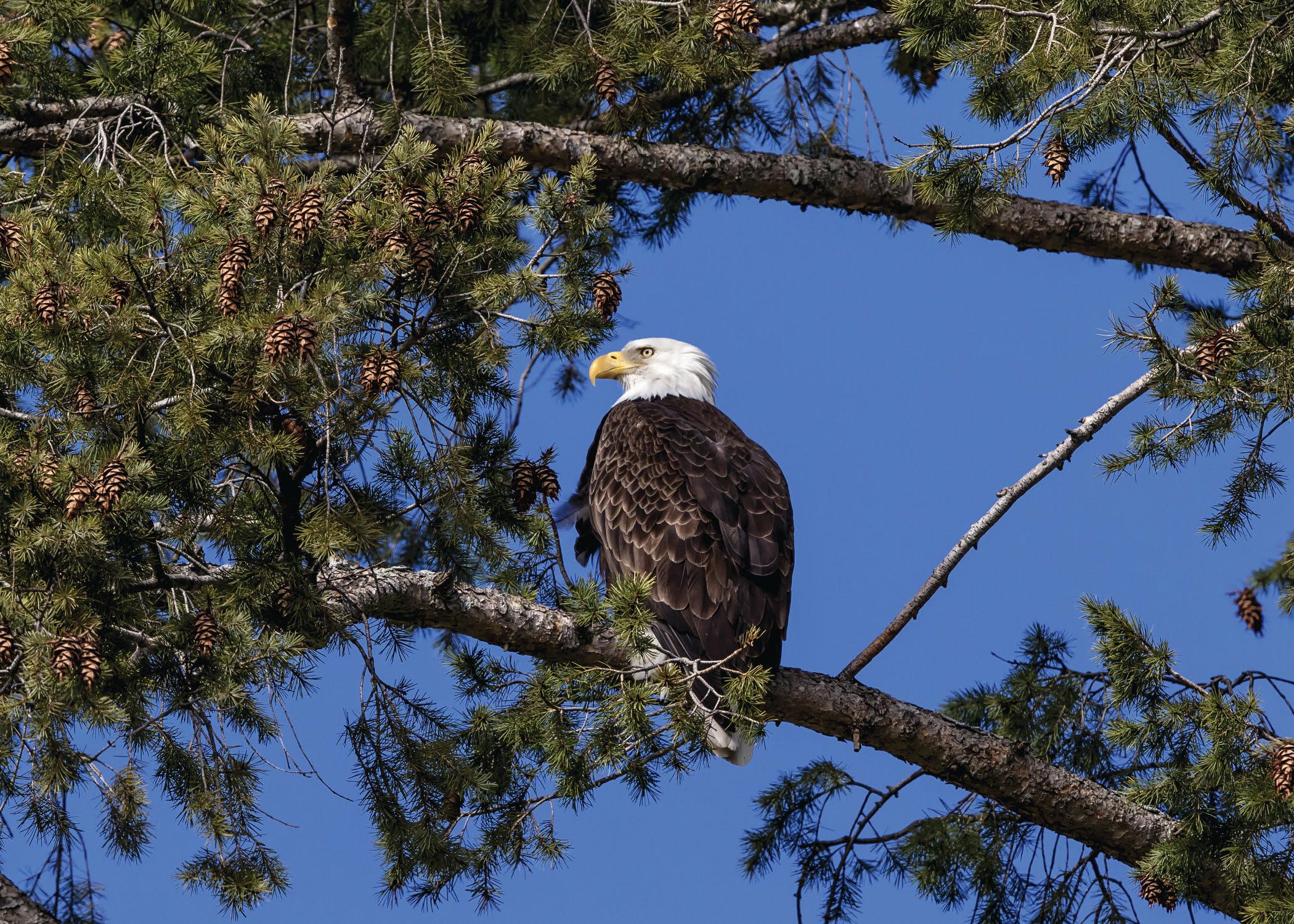 Bald Eagle Croton Point Lake Onondaga
