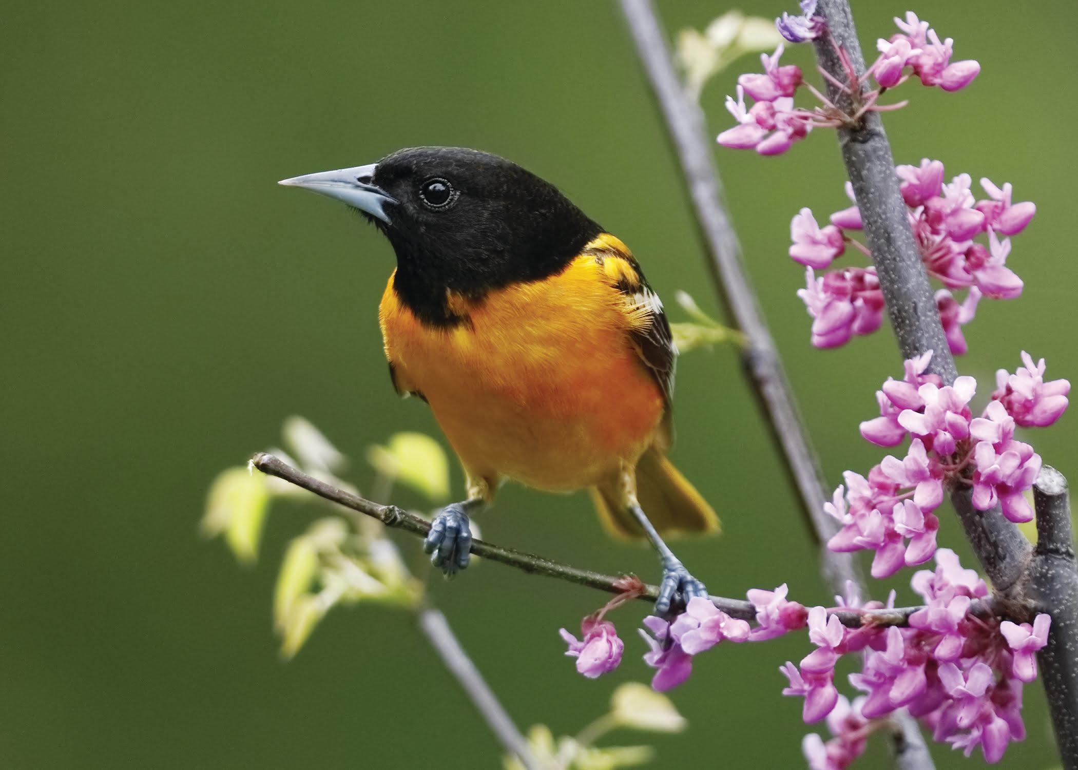 Baltimore Oriole Tifft Nature Preserve