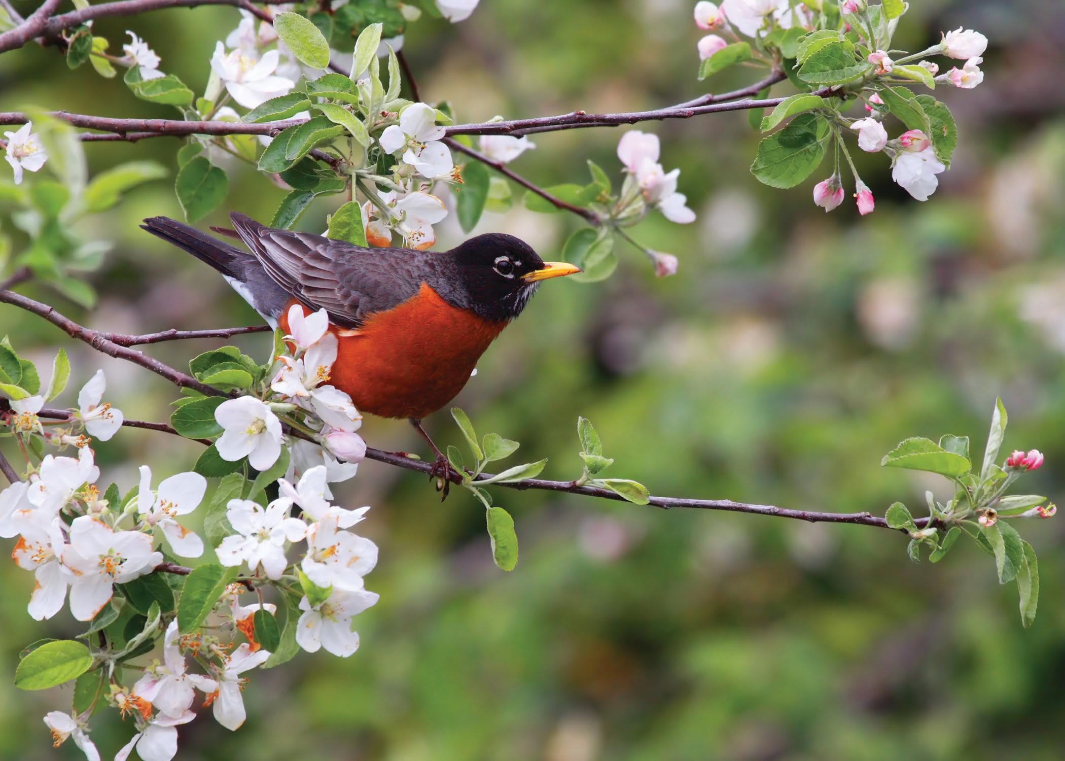 Robin in Central Park