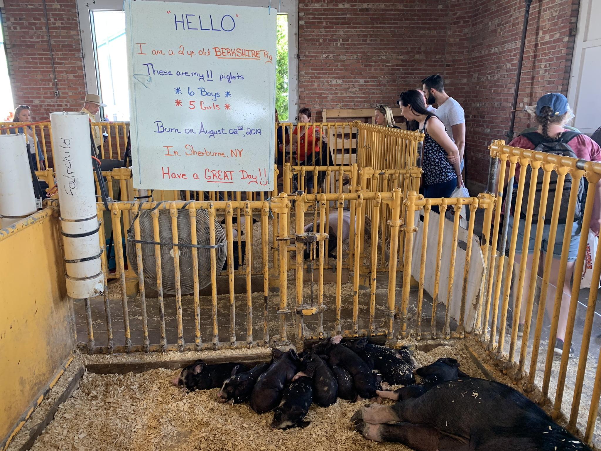 Piglets at NY State Fair
